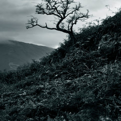 Tree, Alcocks Tarn.jpg