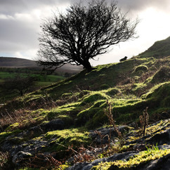 Windblown Tree.jpg