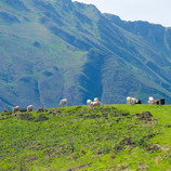 Cattle and Mountain.jpg
