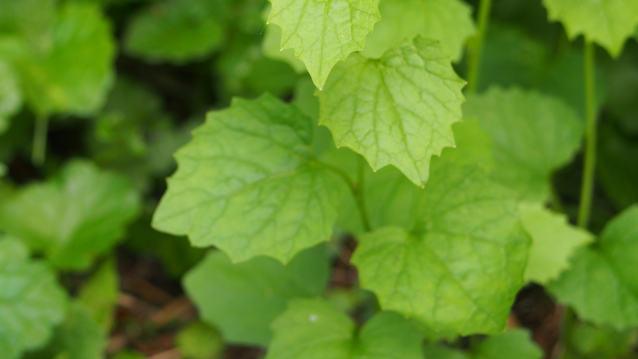 Garlic Mustard (alliaria petiolata) with white flowers