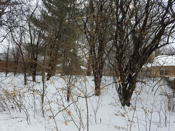 Winter is Prime Time for Buckthorn Removal!