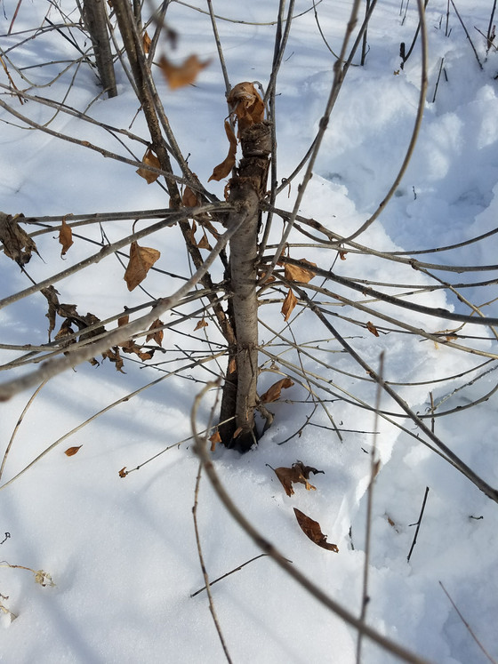 What do buckthorn and Bruce Willis have in common?