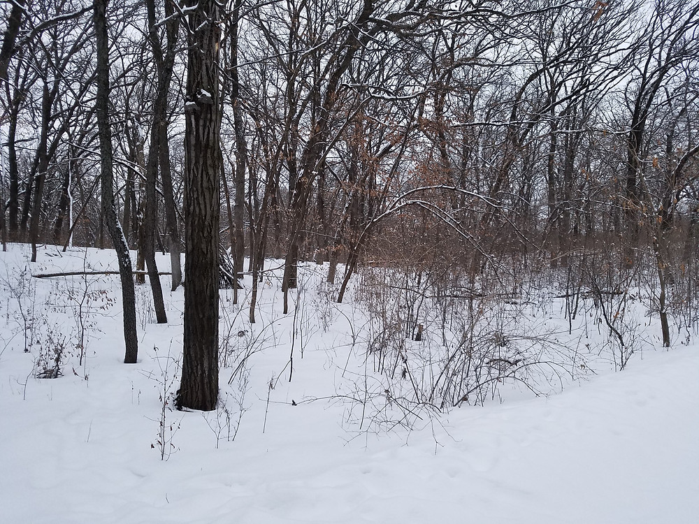Buckthorn Restoration Before and After