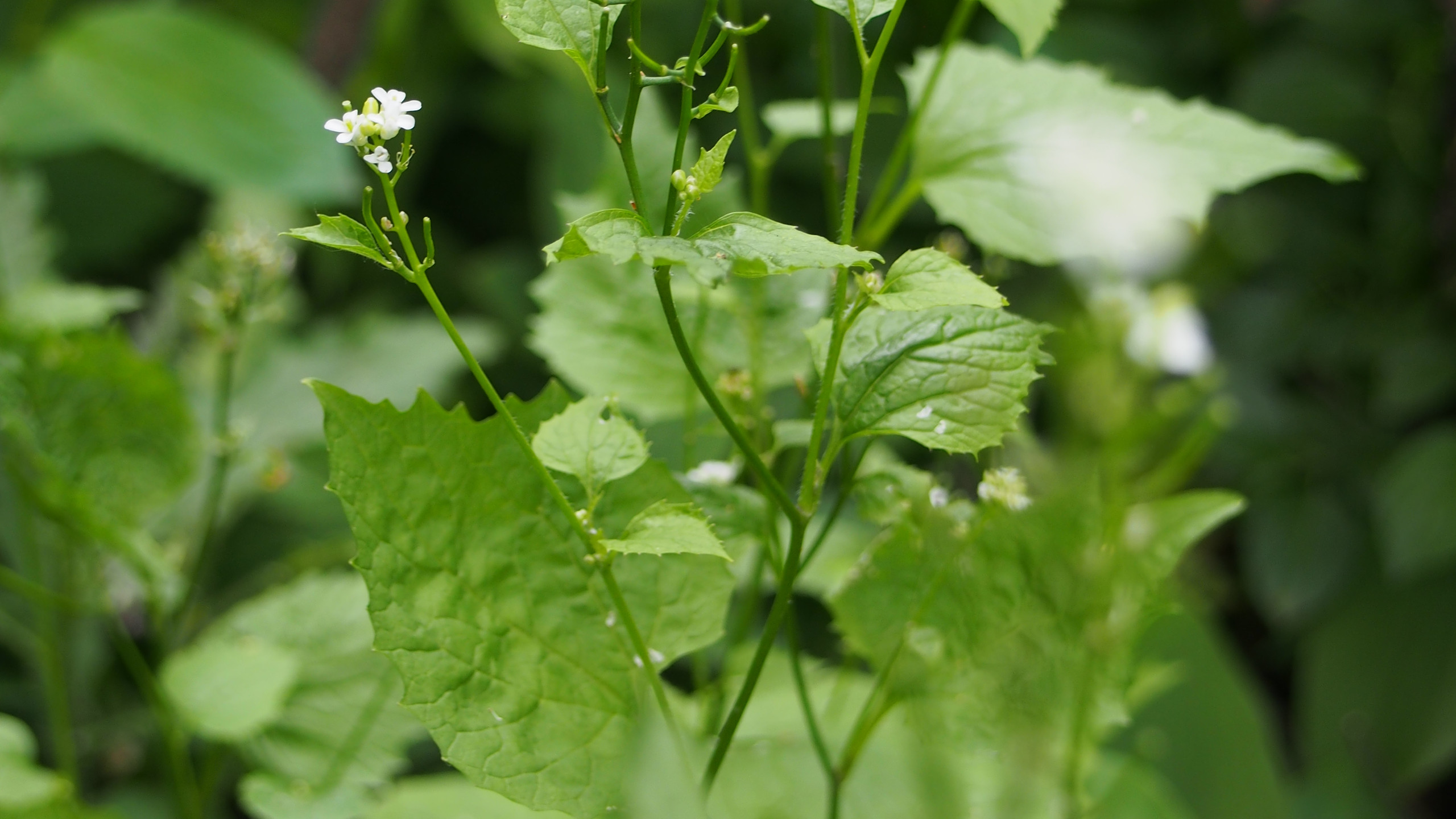 Garlic Mustard (alliaria petiolata) with flowers and siliques