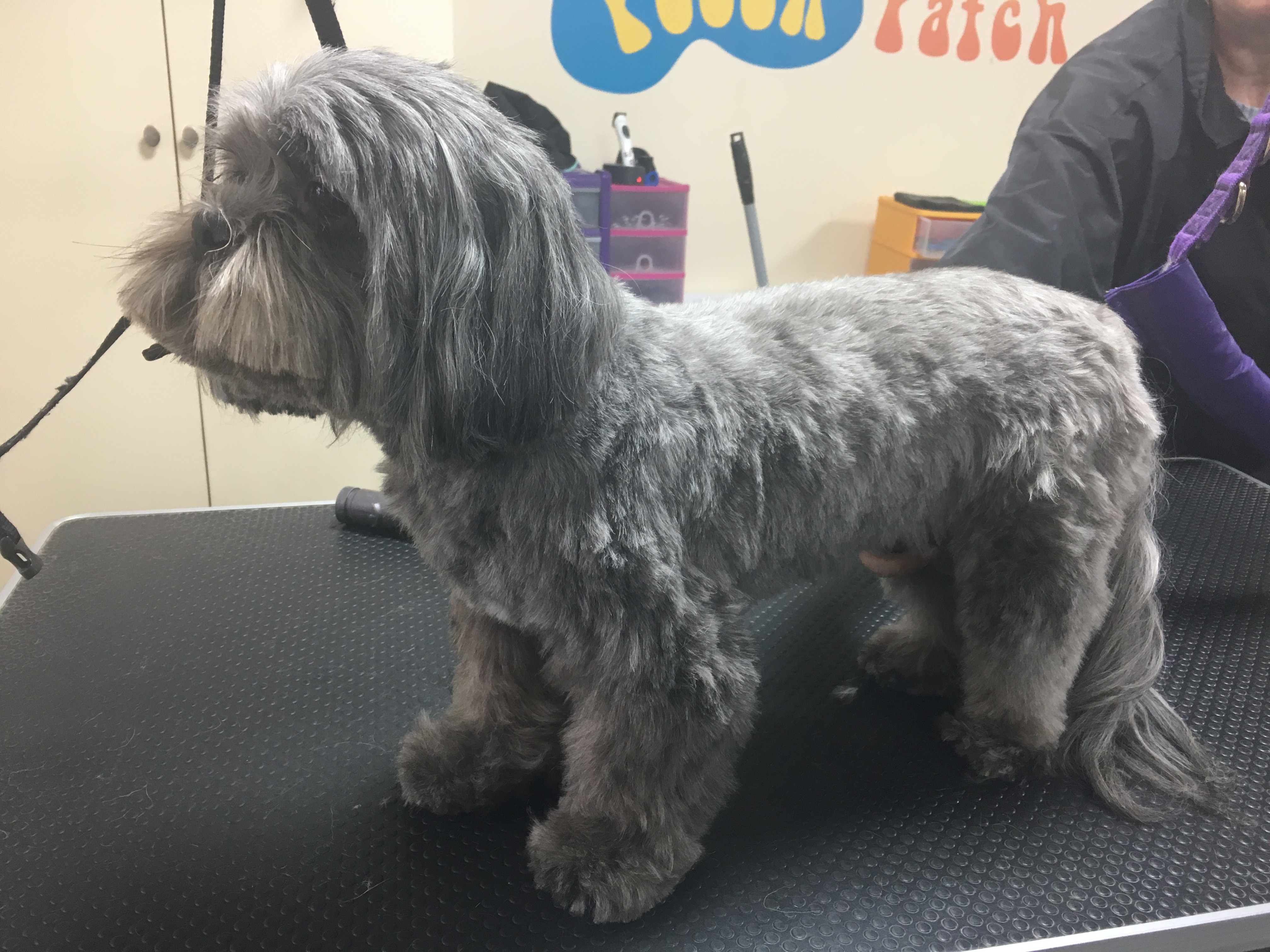 Grey haired puppy freshly trimmed