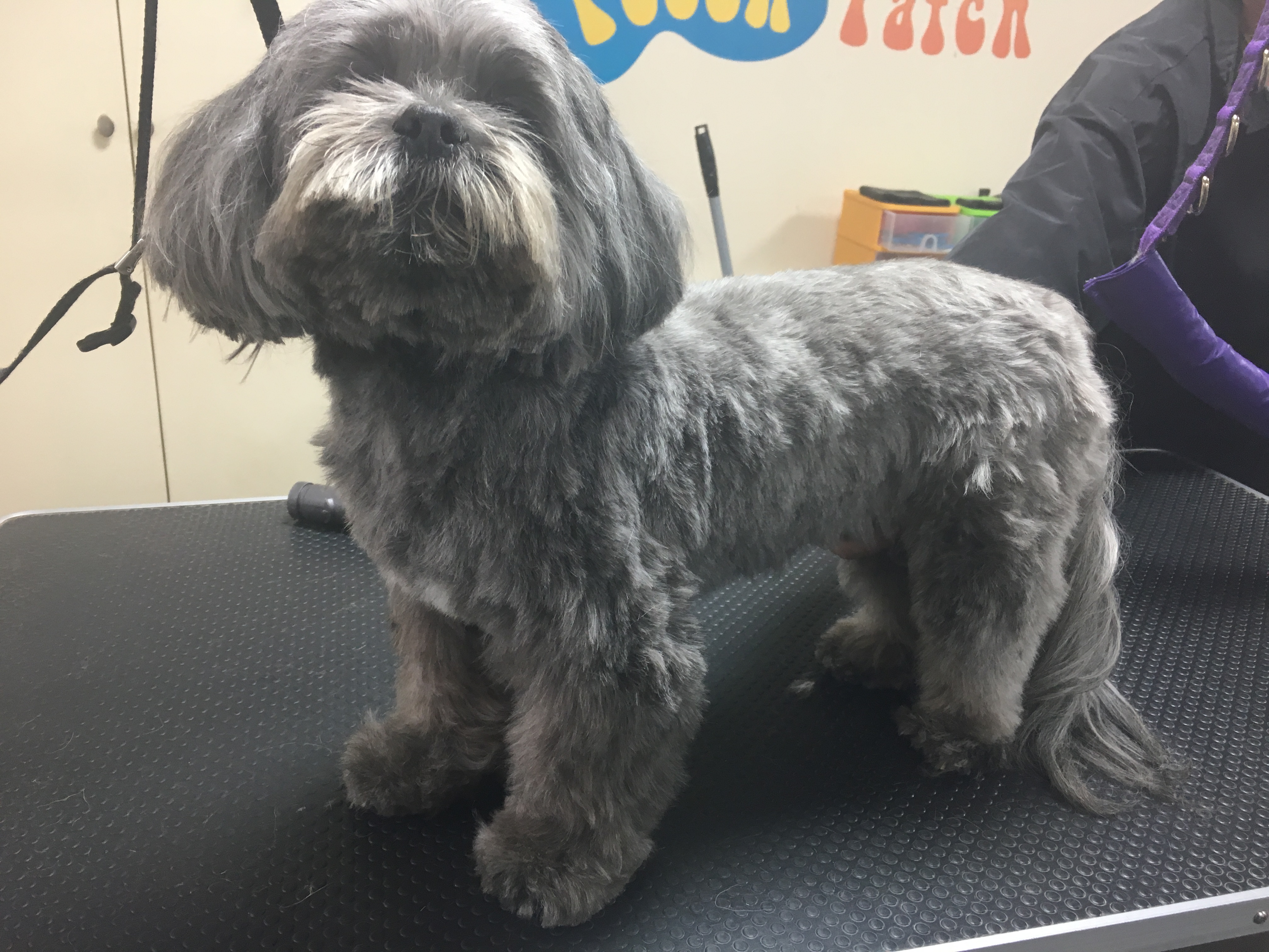Groomed puppy