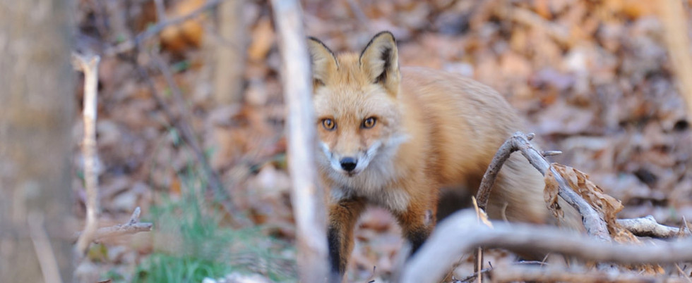 Fox-adult-use this one_small.jpg