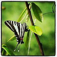 zebra swallowtail.jpeg