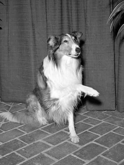 Original Lassie Wanting to Shake Your Hand