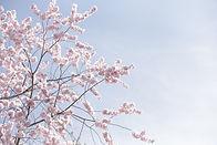 beautiful-wide-shot-pink-sakura-flowers-