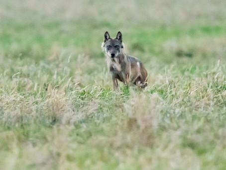 Eerste wolf in het Waasland?