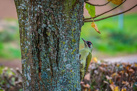 green-woodpecker-2878599_1280_edited.jpg