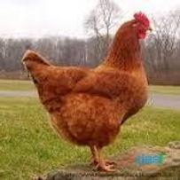 poule rousse, poule pondeuse