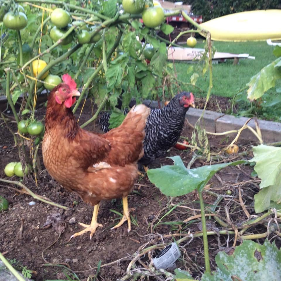 Les poules sont très efficaces pour sarcler un jardin