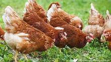 De nouvelles poules rousses arrivent!