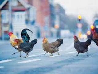 Les poules dans la ville de Québec pour 2018