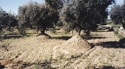 Olivenbaum,_angehäufelt.tiff