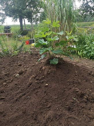 Feigenbaum, klein (nach 4 Monaten).jpg