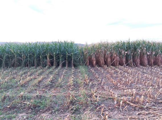 Mais auf Damm neben Mais flach angebaut