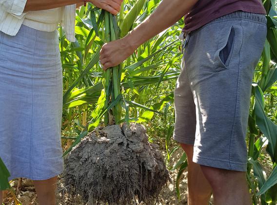 Maisverwurzelung bei Trockenheit