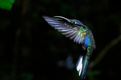 Forêt de nuages-colibri campyloptère