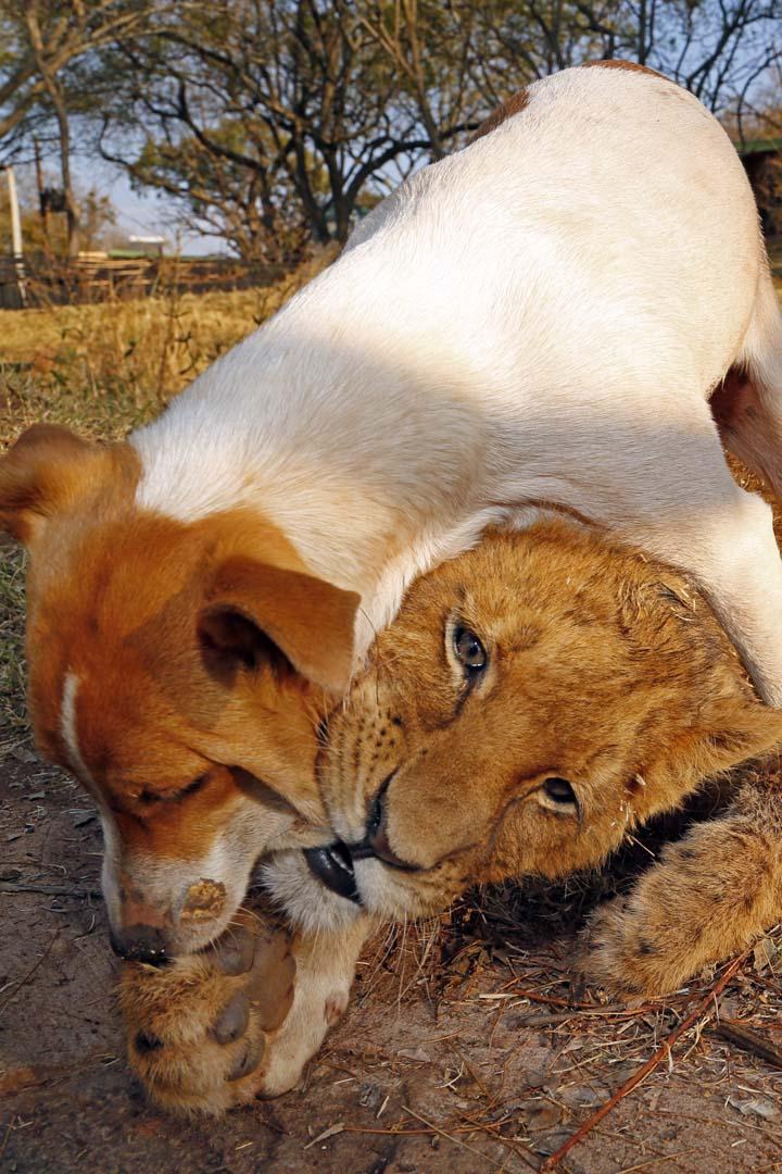 La marche des lions