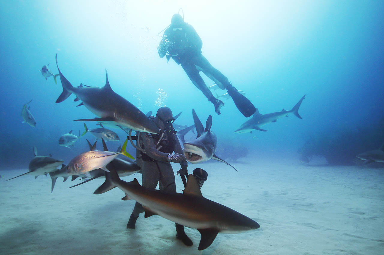 Le requin, ce mal aimé - nourrissage