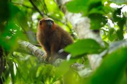 Au coeur de Yasuni - singe titi