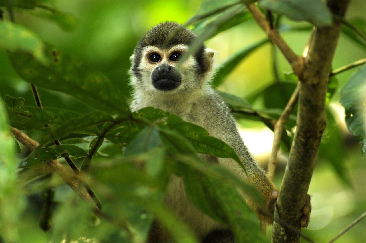 Au coeur de Yasuni - singe capucin
