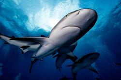 Le requin, ce mal-aimé