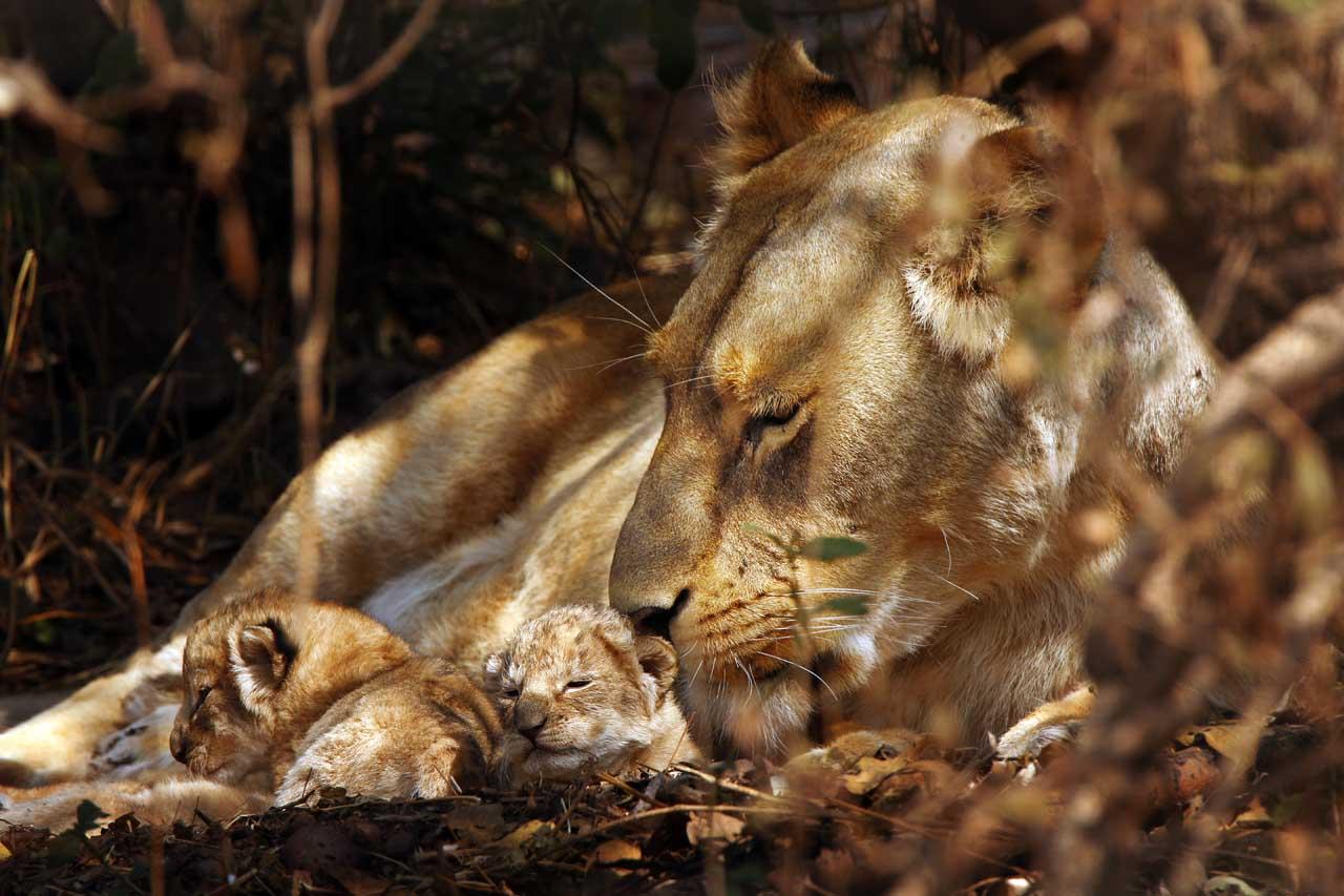 La marche des lions - les nouveaux-nés