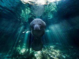 Les lamantins de Crystal River nagent de bonheur dans Image & Nature