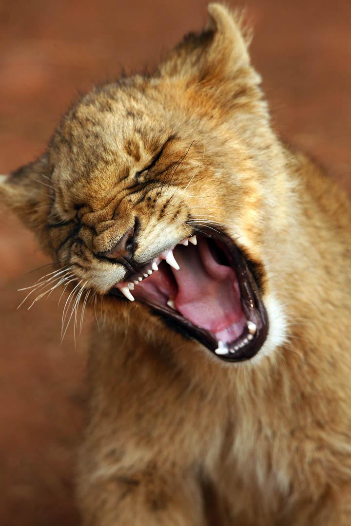 La marche des lions - Jessie
