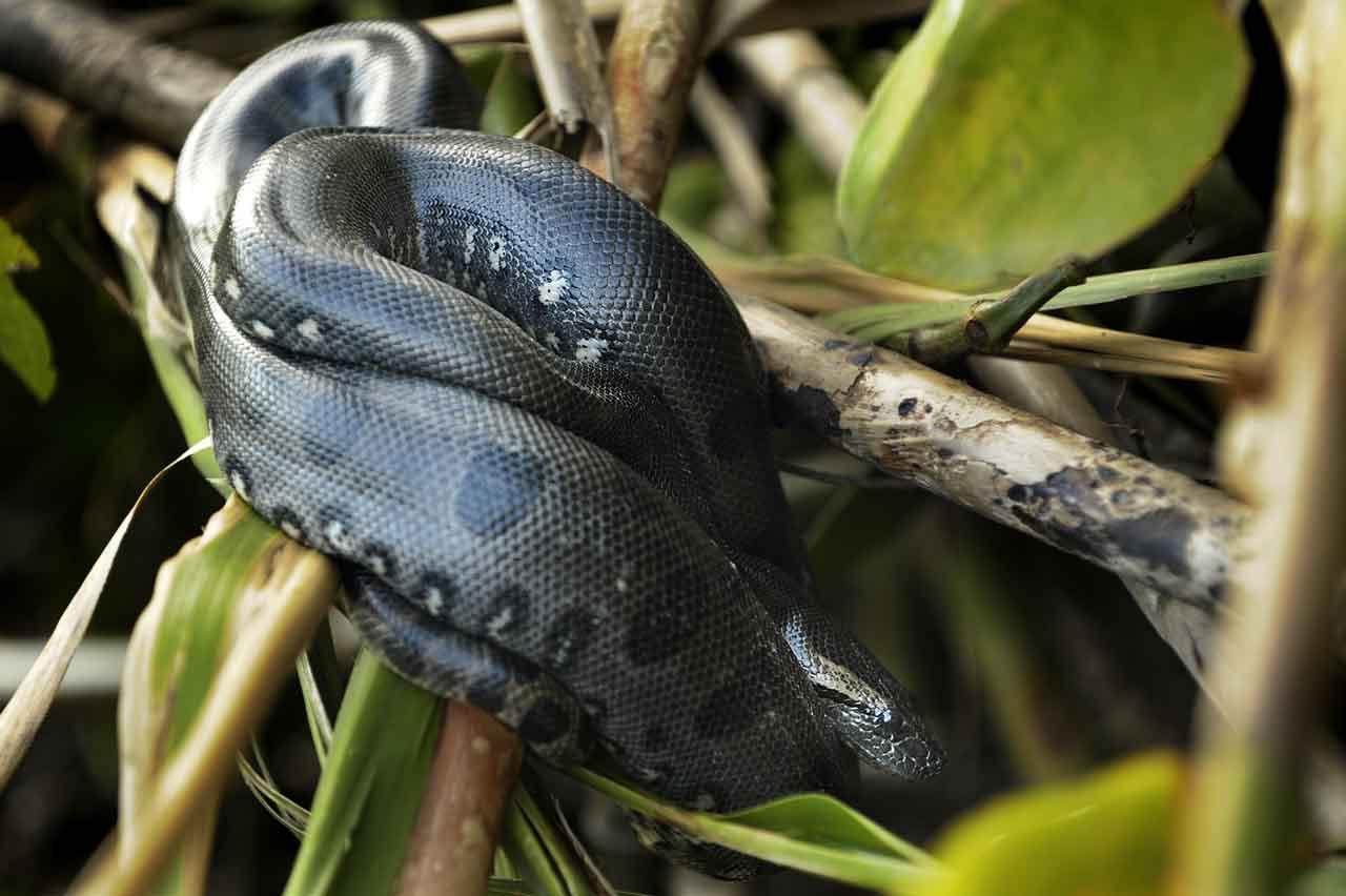 Au coeur de Yasuni - anaconda