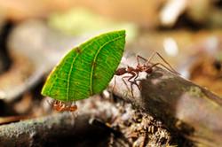 Au coeur de Yasuni - fourmis anangu