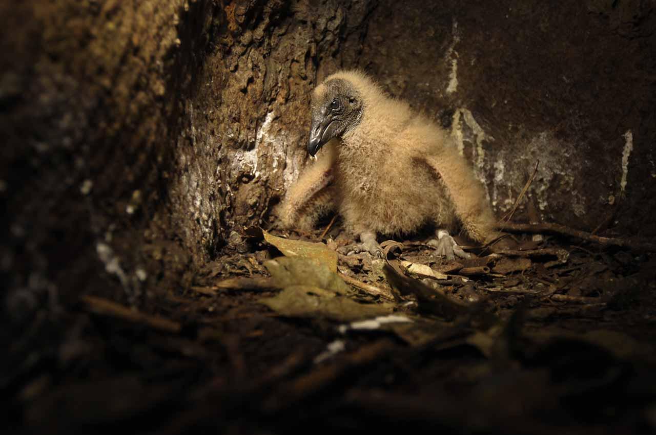 Au coeur de Yasuni - nid du vautour