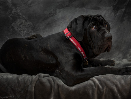 Doggy Portrait - Neapolitan Mastiff