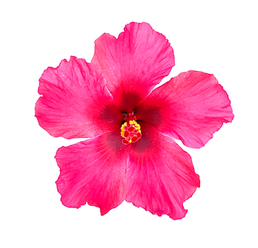 Tradewinds-Hibiscus_Ivory-Wind.png