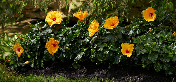 Hibiscus_TahitiWind-CuracaoWind_landscap