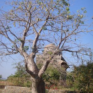 Des baobabs en Inde