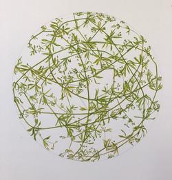 Galium aparine (sticky willie)