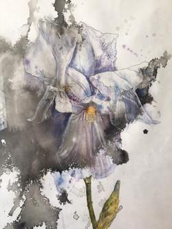Pale iris