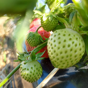 Erdbeeren.jpeg