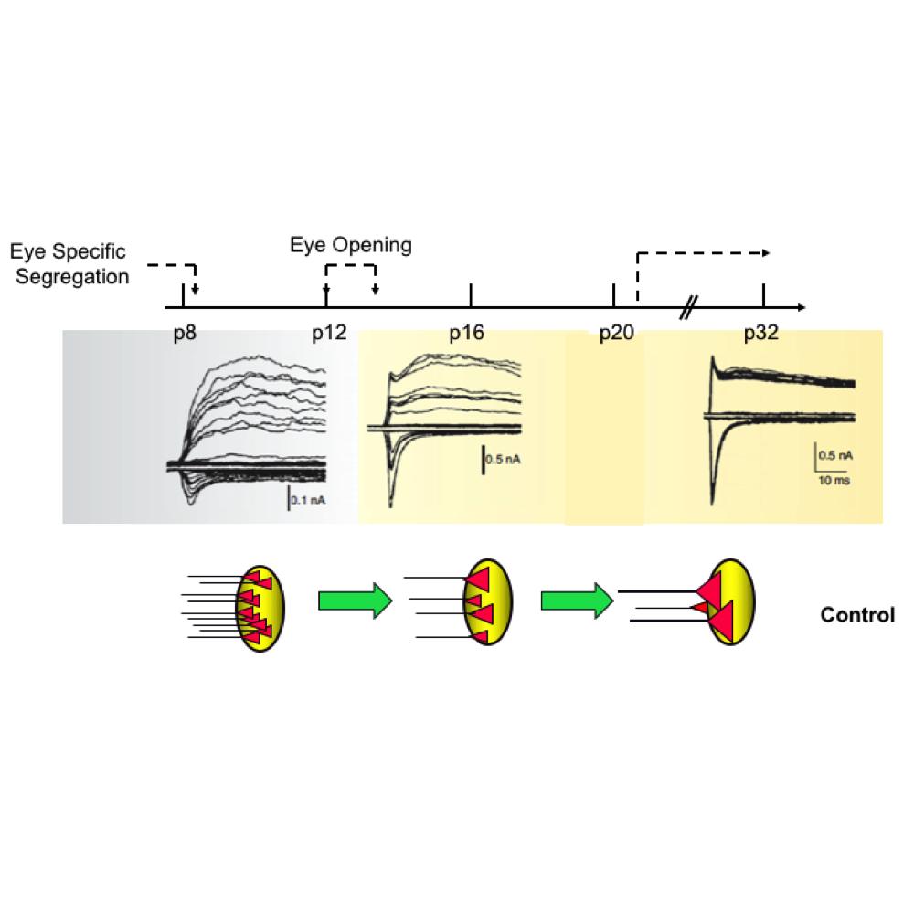 synapse refine ephys