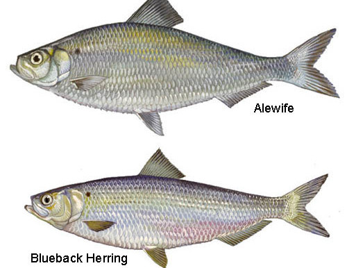 Citizen Science: Tracking Changes in River Herring Populations