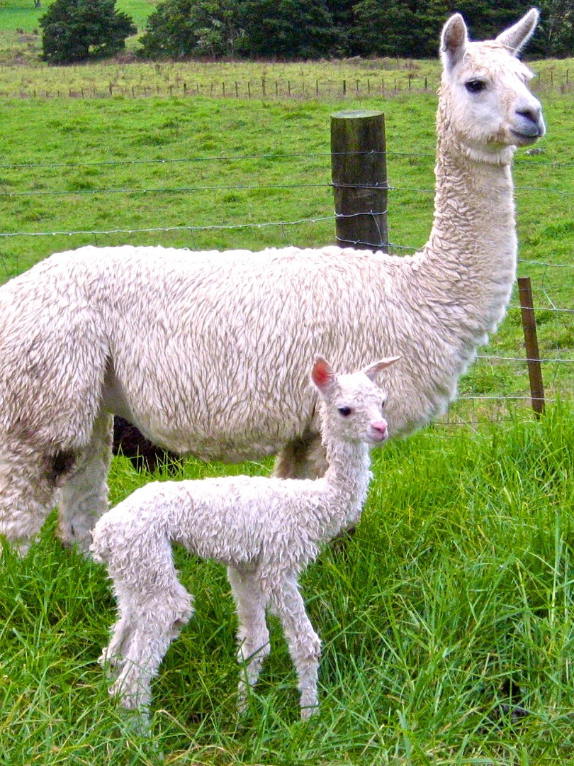 Esther with her new cria. Lorna May has
