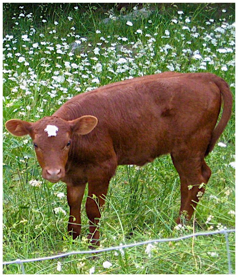 Lavender's heifer calf Christmas Star at