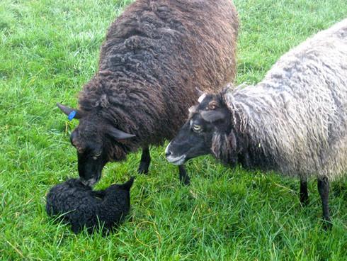 Mum Mildred and Auntie Myrtle with newborn lamb