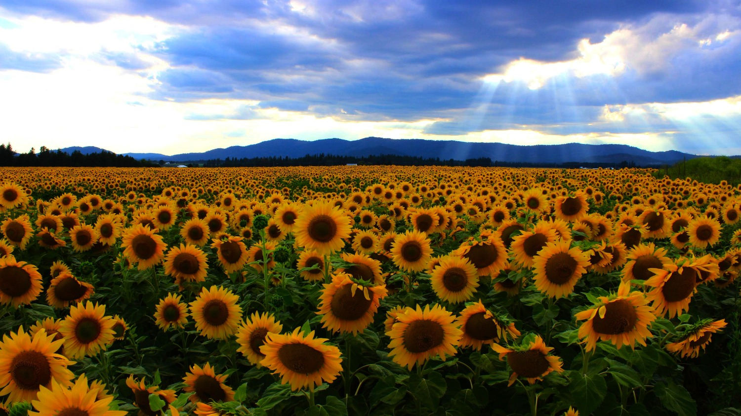Sunflowers_edited