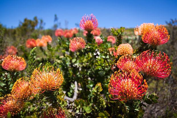 cape-fynbos-flourishes-on-grootbos-1_edi